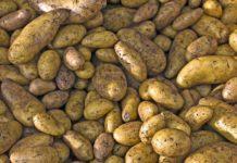 hodowla ziemniaka